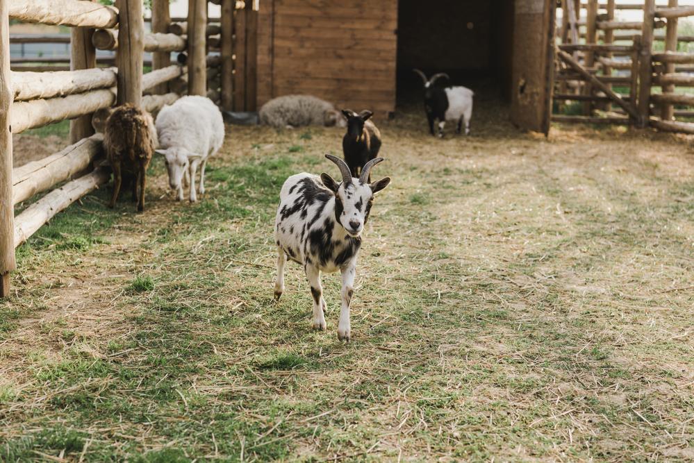 la GRanja con cabras enanas en Zoo de Madrid
