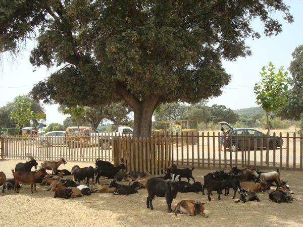 Cabras en la granja del Safari de Madrid, Aldea del Fresno