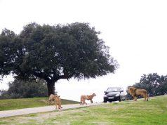 Coche con leones y tigres en el SAfari de Aldea del Fresno en Madrid