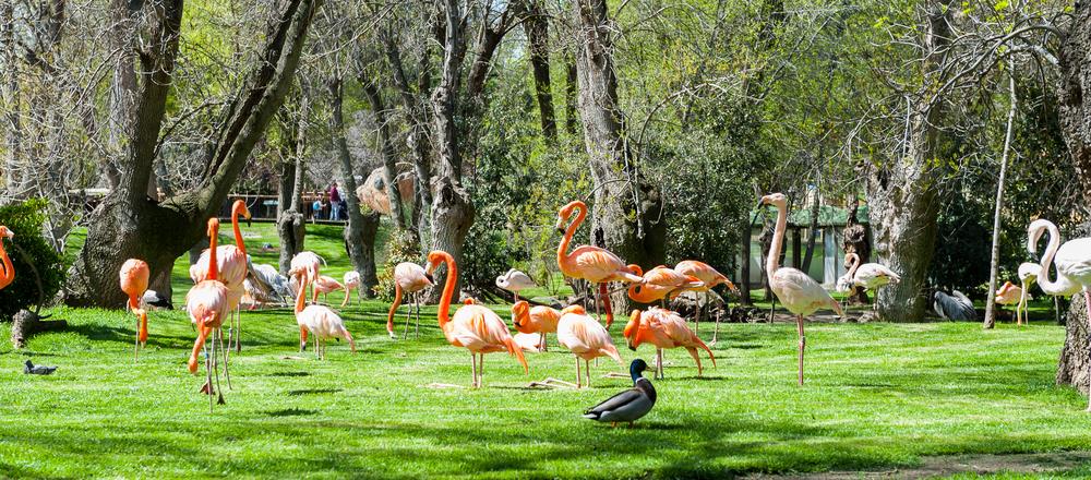 Flamencos rosas en el Zoo de Madrid