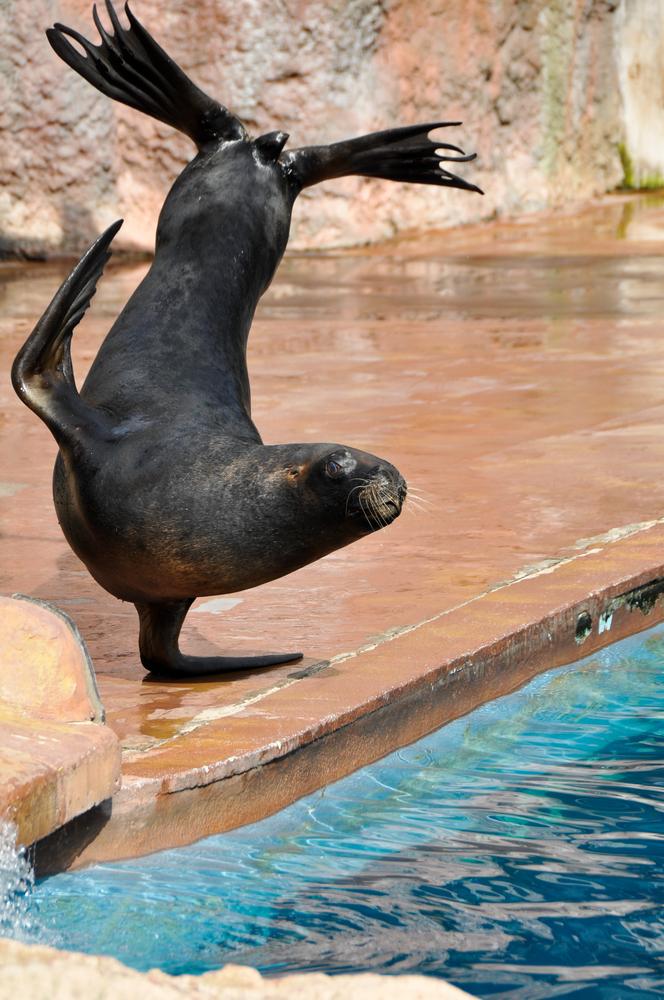 León marino de California haciendo acrobacias en Zoo de Madrid