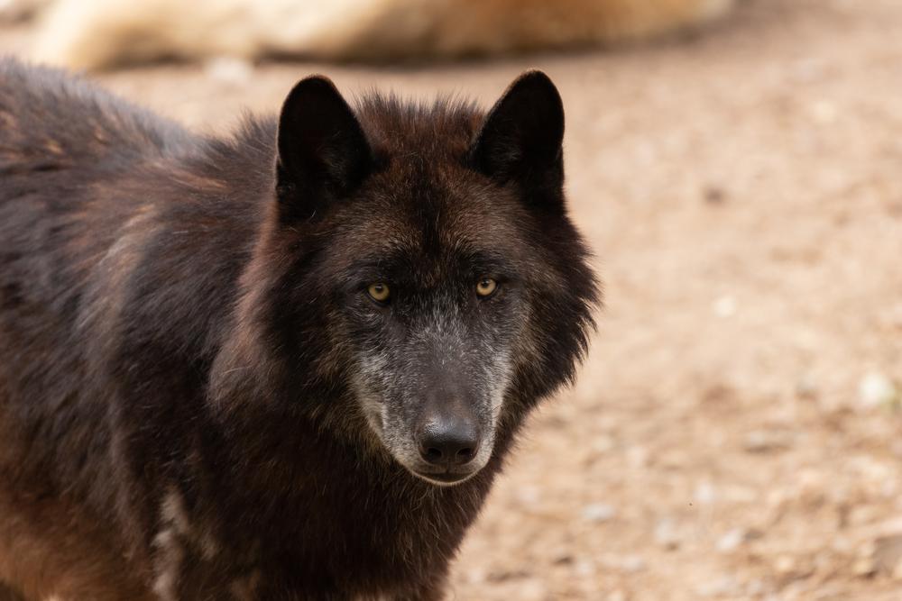 Lobo gris americano en zoo de Madrid