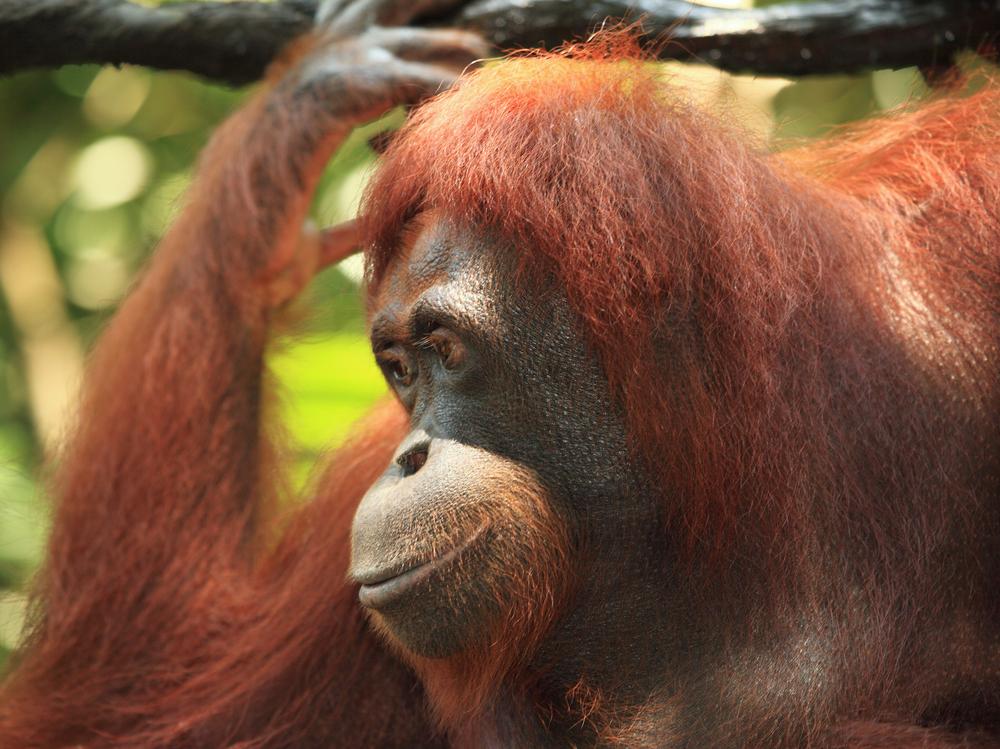 Detalle primer plano Orangután