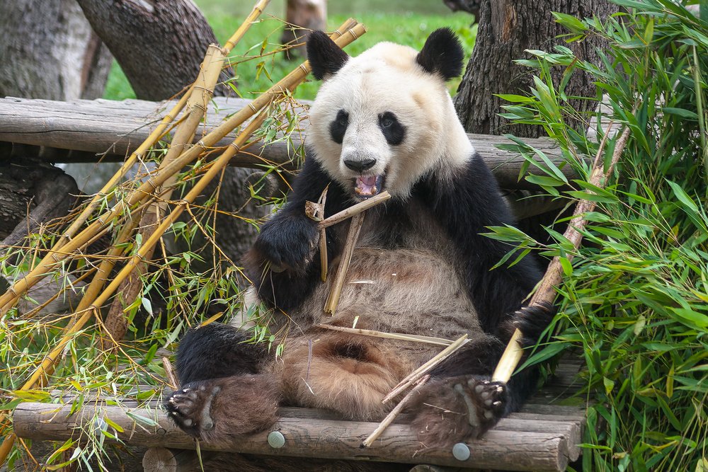 Oso Panda comiendo bambú en Zoo de Madrid