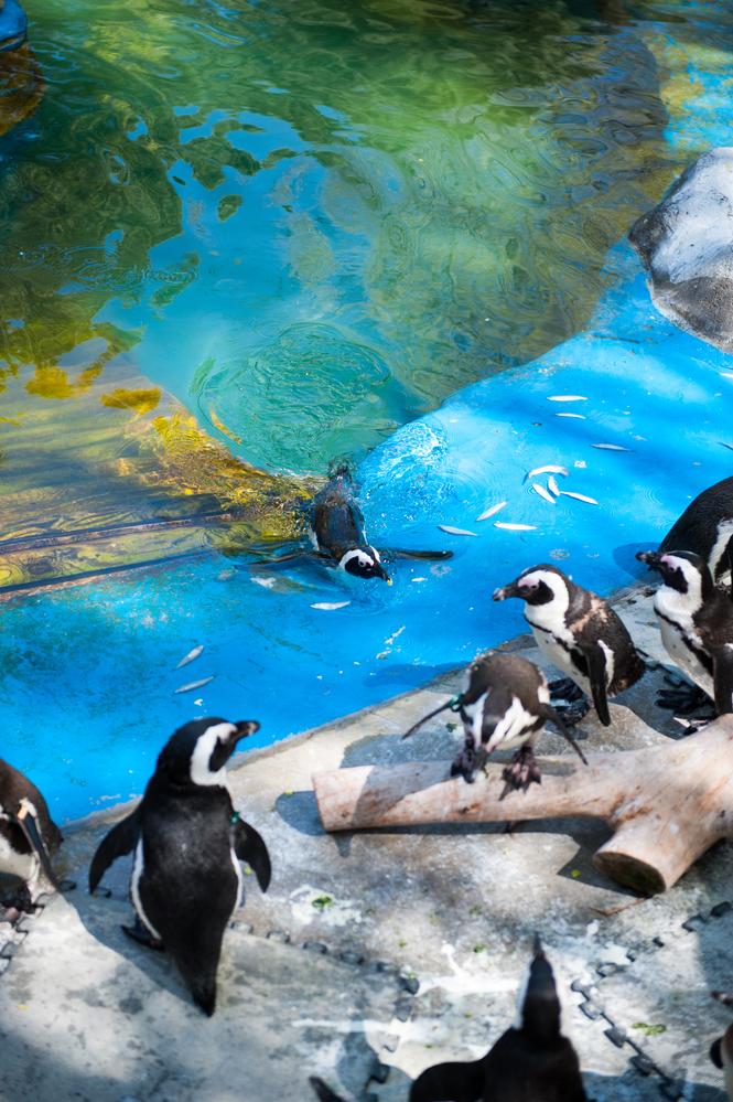 Pingüinos de la Patagonia en Zoo Madrid