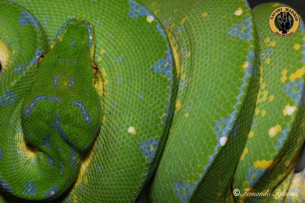 Reptil verde en el Safari de Madrid