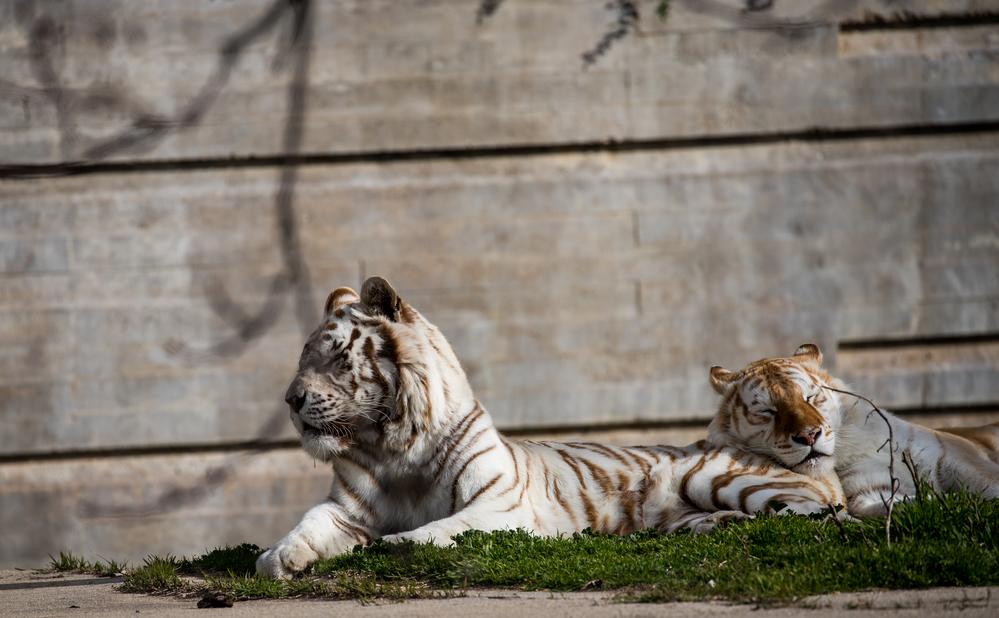 Tigres blancos a rayas tomando el sol en Zoo de Madrid