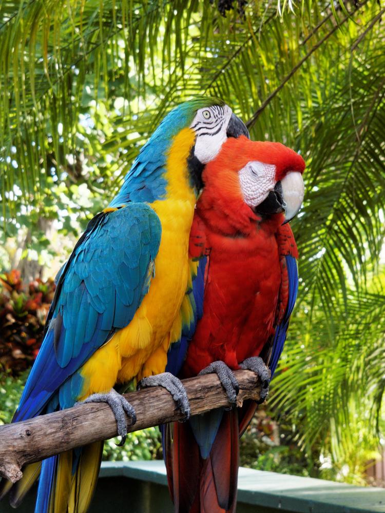Guacamayos,rojo y azul